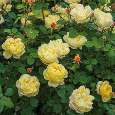 Buy Charles Darwin from David Austin with a 5 year guarantee and expert aftercare. Deadheading Roses, Story Of David, Rose Delivery, Rose Care, Shrub Roses, David Austin Roses, Growing Roses, Charles Darwin, Companion Planting