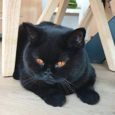 Bombay Cat, Cute Black Cats, British Shorthair, Domestic Cat, Cat Breeds, Egyptian, Fluffy Animals, Cute Cats, Animales
