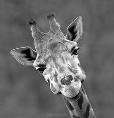 Amanda, I send this giraffe to help you feel better.