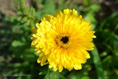 Here's the top 14 recipes using calendula: Calendula is perhaps most commonly known as a first aid remedy for cuts and wounds. It's also used internally as an antimicrobial to help the body resist pathogens such as bacteria, viruses, and fungi. Having anti-inflammatory, anti-bacterial, anti-fungal, astringent, and vulnerary properties, calendula is also a good herb for the skin.