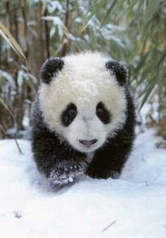 1000+ images about HAPPY PANDA on Pinterest | Pandas, Baby ...