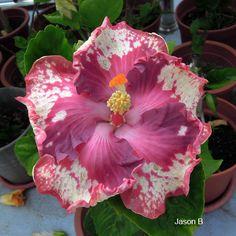 Hibiscus 'Jason B.'