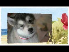 Learn Alaskan Malamute training tips HERE: http://obedient-dog.net/dog-breeds/alaskan-malamute-training-secrets.html