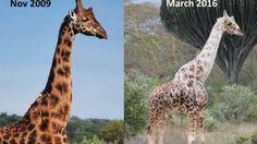 Durante los últimos años han sido documentados y estudiados diversos casos de jirafas leucísticas, una alteración de origen genético que produce una falta permanente de la coloración (parecida pero no...
