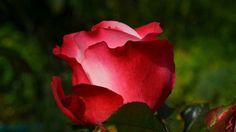 Elisa Day Na Europa medieval, uma jovem mulher chamada Elisa Day era conhecida pela sua beleza. Um dia, um homem de passagem se apaixonou imediatamente por ela. O casal se viu três dias. No primeiro, ele a visitou em casa. No segundo,  deu-lhe uma rosa vermelha e pediu que o encontrasse no dia seguinte, no lugar onde as rosas selvagens crescem. No terceiro dia, ele a matou com uma pedrada na cabeça. Desde então, pessoas afirmam verem o fantasma dela vagando ao longo do rio com uma rosa na…