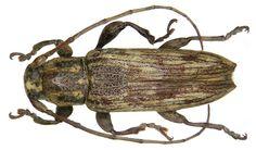 Family: Cerambycidae Size: 11 mm Location: Indonesia, Borneo, det. Breuning, 1939 Type, Museum of London Photo: U.Schmidt, 2007