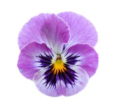 Find Purple Pansy Flower Isolated On White stock images in HD and millions of other royalty-free stock photos, illustrations and vectors in the Shutterstock collection. Watercolor Cards, Watercolor Flowers, Watercolor Paintings, Blue Flowers, Beautiful Flowers, Exotic Flowers, Yellow Roses, Pink Roses, Flower Art