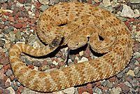 Panamint Rattlesnake