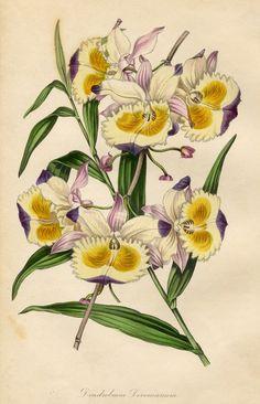 PAXTON'S MAGAZINE OF BOTANY 1834: 'DENDROBIUM DEVONIANUM' Superb Hand Color