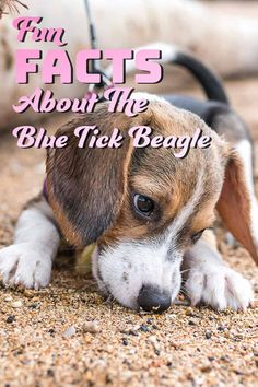 30 Fun facts about the Blue Tick Beagle - Fun facts about dog breeds