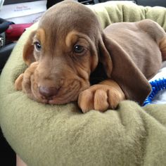 Bloodhound baby ♥ omg the muted coloring and cornflower blue eyes are to die for. Puppies And Kitties, Cute Puppies, Cute Dogs, Doggies, Love My Dog, Puppy Dog Eyes, Dog Cat, Cute Baby Animals, Funny Animals