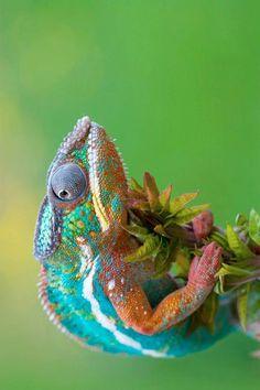 Chameleons: God's sense of humor at work.  :D