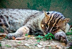 Fishing cat at WFFT Rescue Centre