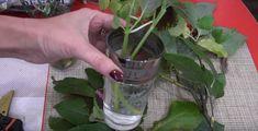 O metodă neobișnuită de înrădăcinare a plantelor. Funcționează 100%! - Sfaturi pentru casă și grădină Glass Vase, Garden, Flowers, Decor, Plant, Tips, Garten, Decoration, Lawn And Garden