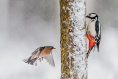 2015-04-30 Great spotted Woodpecker and Chaffinch in Lieksa Finland. More birds: http://timohavimo.1g.fi