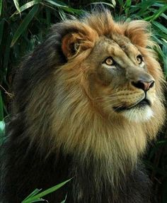 Handsome lion