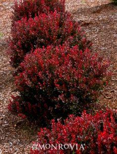Pygmy Ruby Barberry Shrub. Dramatic fall .Easy Care. Full Sun. Slow growing. 1 1/2' H x 3' W.