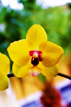 yellow & purple orchid, in love!!
