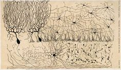 Cajal drawing of (what looks like) neurons in the cerebellum