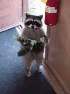 Cute Little Animals, Cute Funny Animals, Cute Cats, Funny Cats, Funny Raccoons, Pretty Cats, Cute Raccoon, Funny Animal Photos, Animal Pics