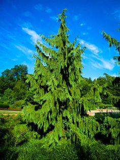 Weeping Alaskan Cedar For Sale Online Weeping Evergreen Trees, Evergreen Garden, Garden Trees, Trees To Plant, Olive Trees For Sale, Landscape Boarders, Landscape Design, Weeping Alaskan Cedar, Gardens