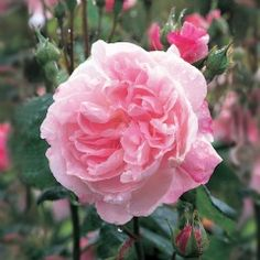Fantin Latour - Centifolia Rose - A charming rose bearing large clusters of beautifully formed, full-petalled flowers. The flowers are cupped at first, later reflexing at the...