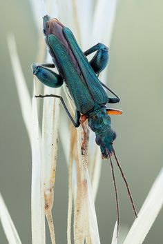 Oedemera by johnhallmen - Species in the genus Oedemera include slender… Weird Insects, Cool Insects, Bugs And Insects, A Bug's Life, Life Form, Pictures Of Insects, Dragonfly Insect, Cool Bugs, Beautiful Bugs