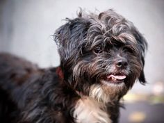 SAFE++Brooklyn Center   COGNIAC - A0915007  ***RETURNED 12/13/14***  NEUTERED MALE, BLACK / WHITE, SHIH TZU MIX, 5 yrs STRAY - ONHOLDHERE, HOLD FOR ID Reason STRAY  Intake condition ILLNESS Intake Date 12/13/2014, From NY 11385, DueOut Date 12/16/2014,