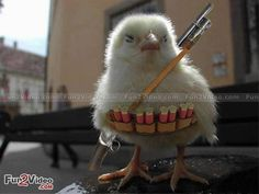 Funny Chicken Photo