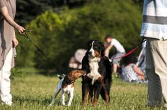 How To Introduce Another Dog To Your Family #pets #petcare  http://www.nojigoji.com.au/