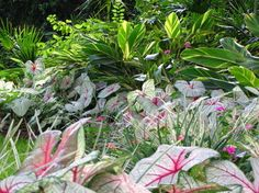 Brighten Shady Gardens with Tropical Plants. Caladiums and Variegated Shell Ginger (Alpinia zerumbet variegata). Our picks!