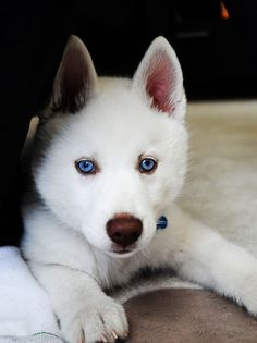 A Beauty - Sharp White coloring and those beautiful blue eyes!