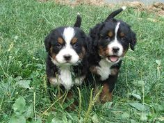 Bernese mountain dog puppies! I kind of need one.