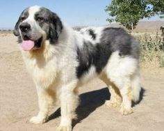 They are like a combo of a Great Pyrenees and a St. Unique Dog Breeds, Rare Dog Breeds, Cute Dogs Breeds, Cute Dogs And Puppies, Big Dogs, Doggies, Pyrenean Mastiff, Mountain Dogs, Big Mountain