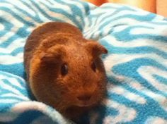This is Butterscotch. She's my piggie. My family has three others. She tried to…