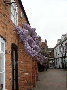 Wisteria, Banbury, England