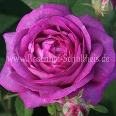 Président de Sèze - Purpur-Violett - Rosa_gallica - Historische_Rosen - Rosen - Rosen von Schultheis