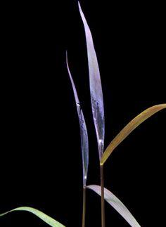 Midground Plant | Poaceae Sp 'Purple Bamboo' Aquatic Plants, Bamboo, Purple, Water Plants, Viola