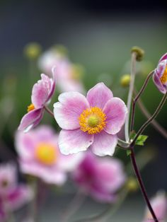 Japanese anemones ...dusky pink for some subtle autumn colour in the shade