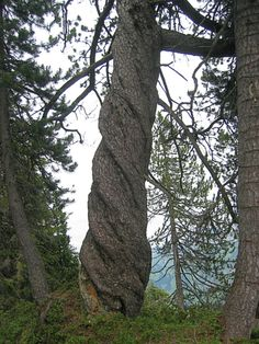 twisted trunk of a tree...like the folds in an evening gown