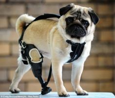 Walk this way: Edward the pug can finally walk on all fours again having been fitted with a prosthetic leg made by American specialists ❤