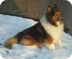 "Location Columbus, OH Rescue ID Coz Organization Contact CENTRAL OHIO SHELTIE RESCUE, INC. centralohiosheltierescue.org P.O. Box 13072 COLUMBUS, OH 43213 Send Question Coz's Description  Help Me Get Adopted Introducing ""Coz"" this handsome oversized young man is a sweet dog. He weighs in at 50 lbs and is not over weight. He is ready for his forever home. This profile is powered by  Shetland Sheepdog Sheltie Location:	Columbus, OH Gender:	Male Age range:	Adult Breed type:	Purebred Size ..."