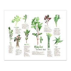 Botanical illustration Vietnamese medicinal от lucileskitchen