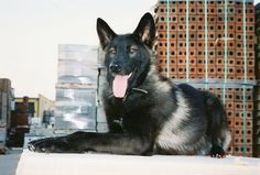 This is an Alaskan Noble Companion Dog, a new breed; his name is Iowa - wow! Wolfdog Hybrid, Companion Dog, Best Dogs, Dog Breeds, Dog Cat, Cute Animals, Creatures, Puppies, Horses