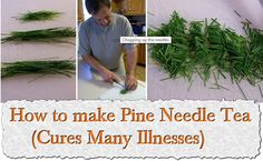 How to make Pine Needle Tea (Cures Many Illnesses)