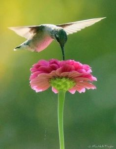 zinnia hummingbird Hummingbird on a zinnia. Growing flowers for the birds and the bees and the butterflies, is a definite joy.Hummingbird on a zinnia. Growing flowers for the birds and the bees and the butterflies, is a definite joy. Pretty Birds, Love Birds, Beautiful Birds, Animals Beautiful, Birds And The Bees, Tier Fotos, Colorful Birds, Exotic Birds, Little Birds