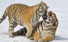 A female Tiger affectionately touches her male after he challenged another male who attempted to steal her away from him.