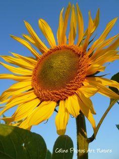 """Poster """"Tournesol soleil"""" 75x50cm d'une photo artistique d'une superbe fleur de tournesol. : Photos par celinephotosartnature Posters, Nature, Plants, Photos, Fine Art Photo, Sun, Artist, Flowers, Photography"""