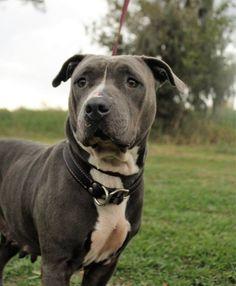 American Pit Bull Terrier dog for Adoption in Lake Jackson, TX. ADN-427188 on PuppyFinder.com Gender: Female. Age: