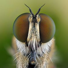 Robber fly: Asilidae